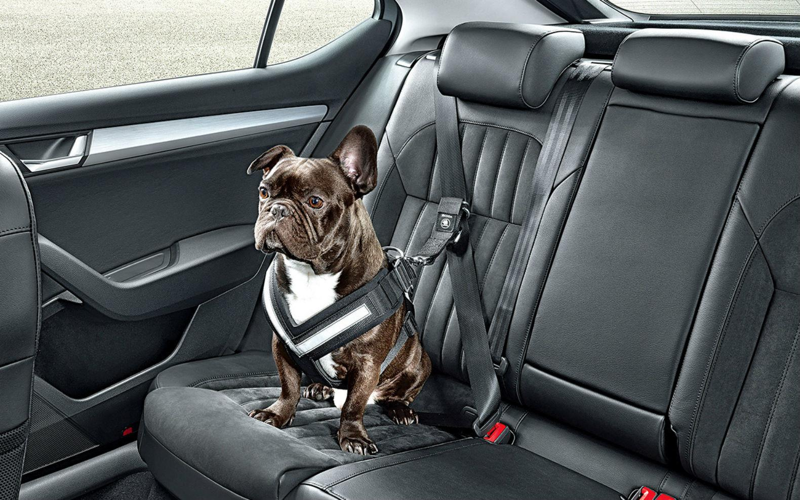 Animal transportado no carro